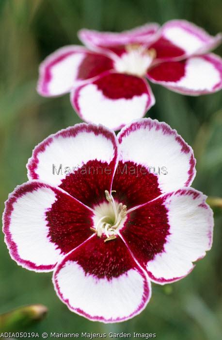 Dianthus 'Joan Siminson'