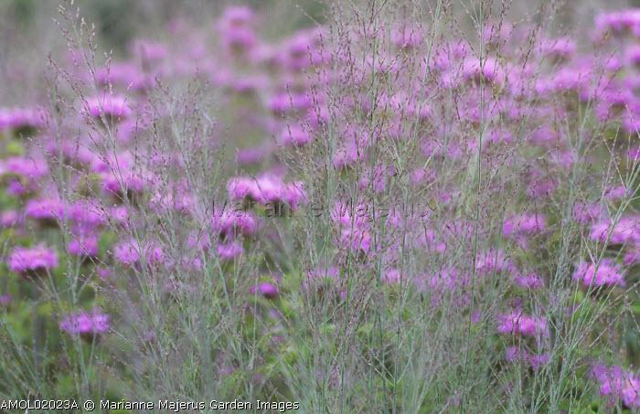 Molinia caerulea subsp. arundinacea 'Transparent', Monarda 'Pawnee'