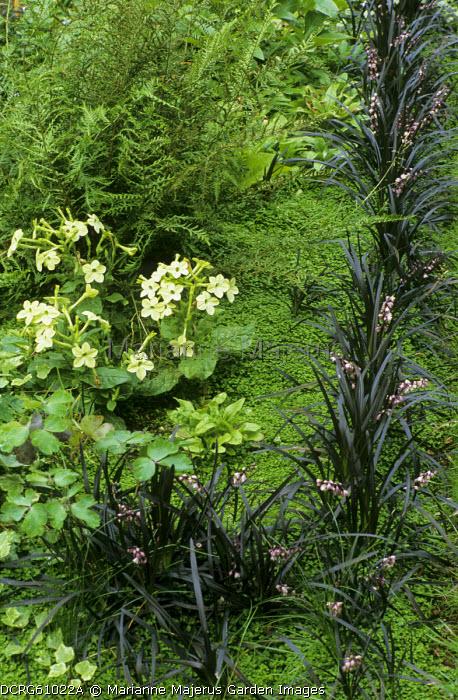 Ophiopogon planiscapus 'Nigrescens', Soleirolia soleirolii, nicotiana, ferns