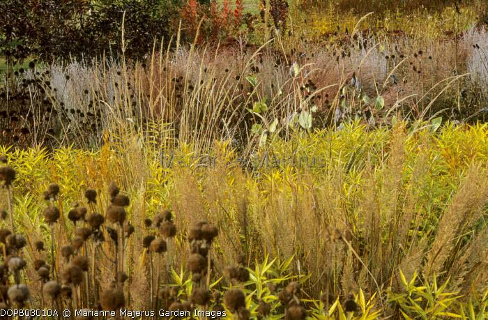 Ornamental grasses, Amsonia tabernaemontana, Molinia caerulea subsp. arundinacea 'Karl Foerster'