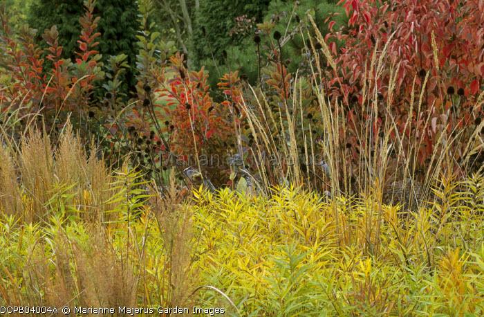 Autumn border, Molinia caerulea subsp. arundinacea 'Karl Foerster', Cornus sericea 'Cardinal', cotinus, Amsonia tabernaemontana