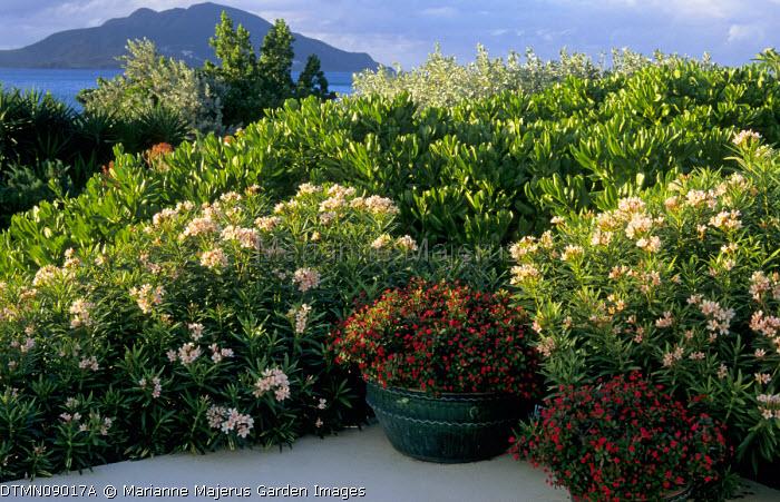 Caribbean garden, Nerium oleander 'Petite Salmon'