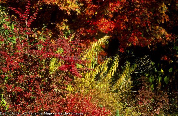 Acer japonicum 'Vitifolium', Berberis thunbergii f. atropurpurea 'Golden Ring'