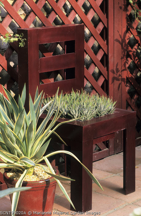 Metal chair with 'cushion' of haworthias, variegated yucca in container, trellis