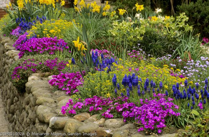 Aubrieta, muscari, alyssum, daffodils, helleborus foetidus