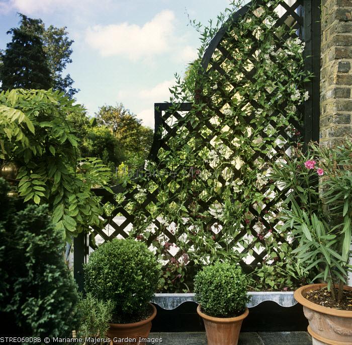 Trellis screen, Solanum jasminoides, balcony, Rhodochiton atrosanguineus, box balls and Nerium oleander in containers