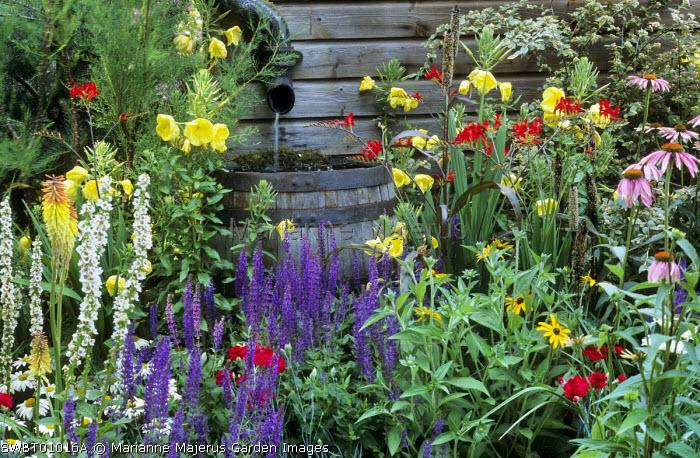 Wooden barrel water butt, Evening primroses, salvia, crocosmia, echinacea