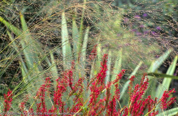 Persicaria amplexicaulis, Molinia caerulea subsp. arundinacea 'Transparent', Phormium tenax