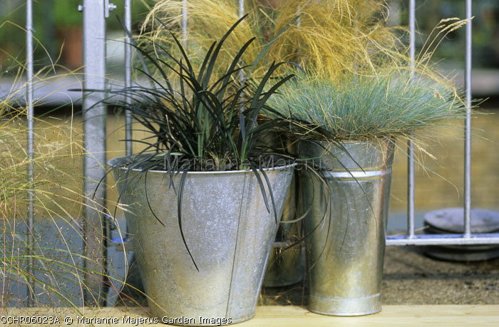 Festuca glauca, Stipa tenuissima and Ophiopogon planiscapus 'Nigrescens' in metal containers