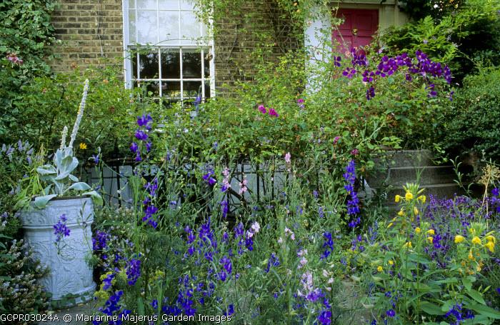 Front garden, evening primroses, clematis, verbascum, monkshood
