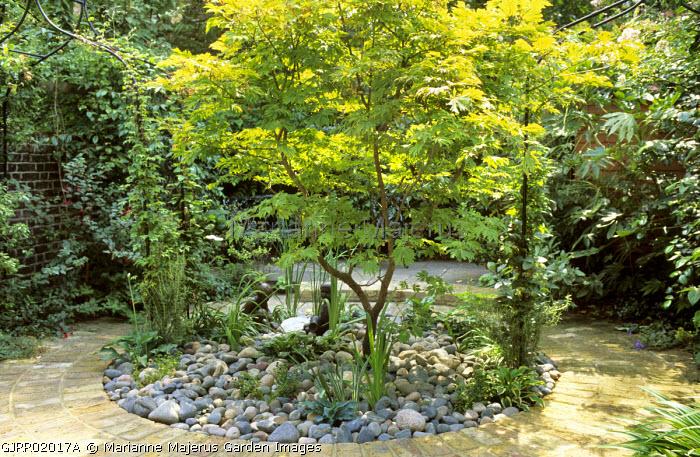 Acer japonicum 'Vitifolium' in circular border with pebble mulch