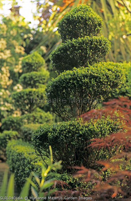 Spiral box topiary