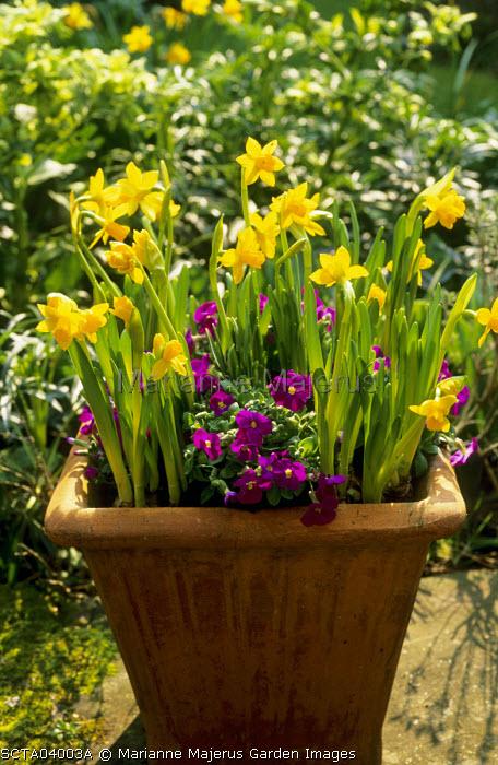 Narcissus 'Tête-à-tête', Aubrieta 'Kitte'