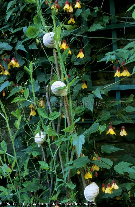 Abutilon 'Kentish Belle', sweet peas, snail shells