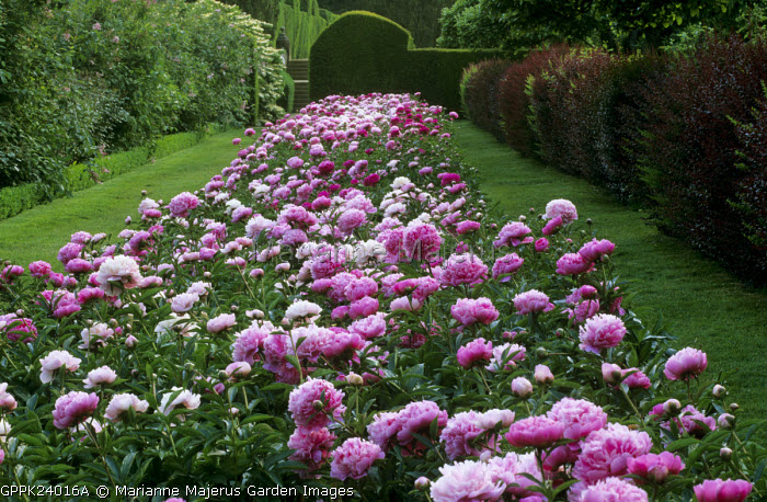 Drift of pink peonies, berberis hedge, Paeonia lactiflora 'Monsieur Jules Elie', 'Lady Alexander Duff',  'Albert Crousse' and 'Sarah Bernhardt'