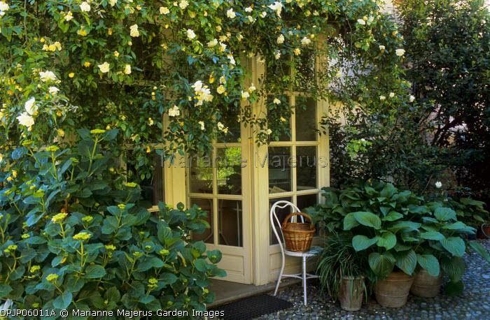 Entrance, Hydrangea, Rambling Rosa 'Albéric Barbier', Hosta plantaginea in terracotta containers, chair, wicker basket