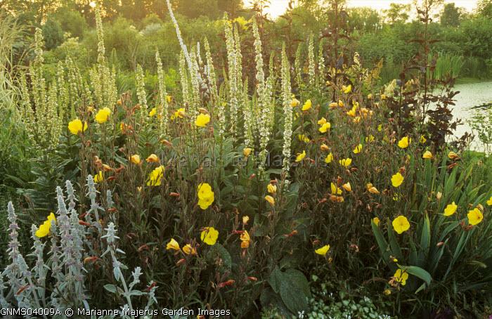 Oenothera biennis, Verbascum chaixii 'Album'
