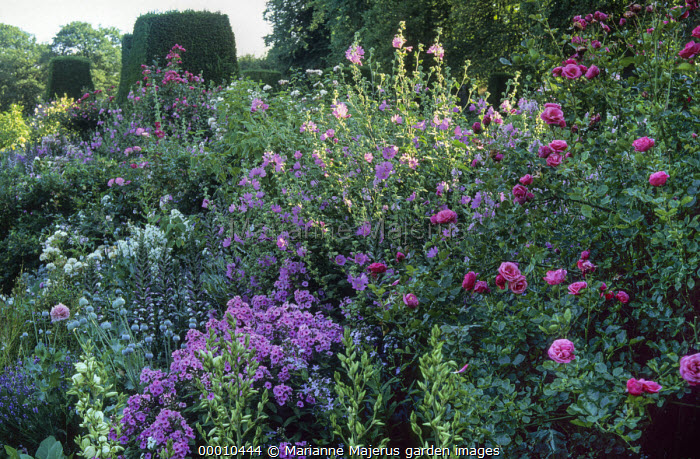 Border with mallow, phlox, roses, yew hedges