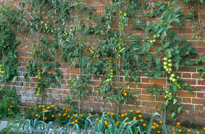 Wall trained tomatoes, including plum tomato 'Vicky', companion planting, marigolds