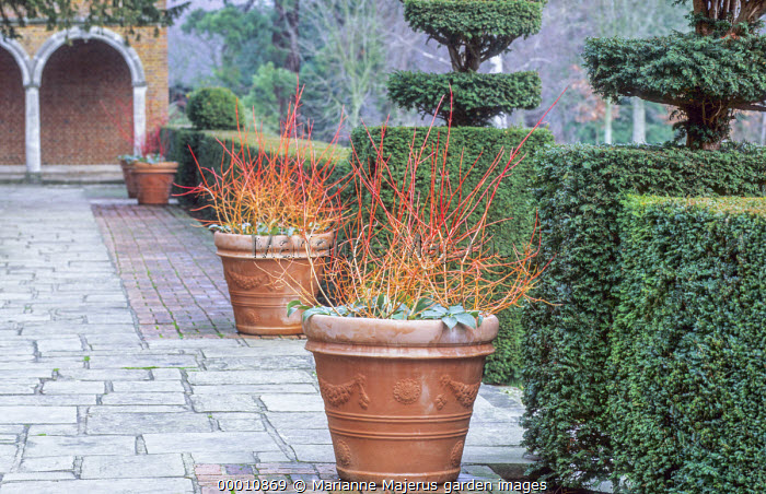 Cornus sanguinea 'Midwinter Fire' in large terracotta containers, yew topiary