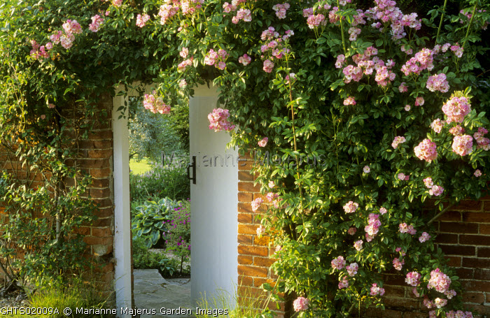Rambling 'Rosa 'Blush Rambler', entrance to secret garden