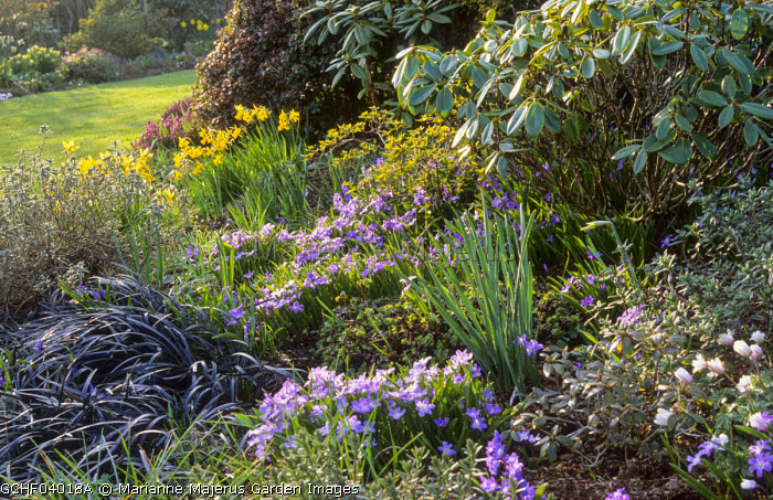 Spring border with Chionodoxa luciliae, Ophiopogon planiscapus 'Nigrescens', rhododendron, narcissi, Anemone blanda