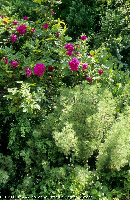 Rosa rugosa, Artemisia abrotanum