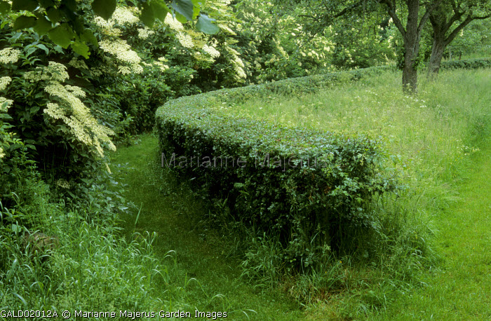 Curved hawthorn hedge