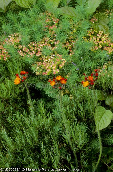 Euphorbia cyparissias, Pilosella aurantiaca