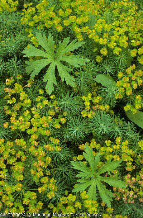 Euphorbia cyparissias, geranium leaves