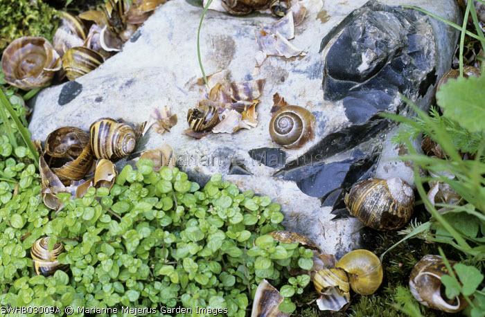 Snail anvil stone for thrushes