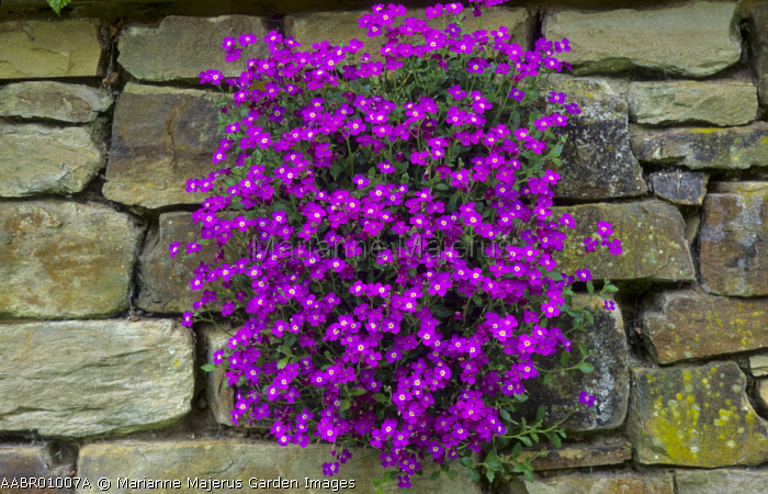 Aubrieta 'Doctor Mules' in dry-stone wall