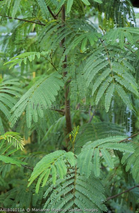 Albizia lophantha syn., Paraserianthes lophantha