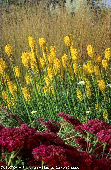 Kniphofia 'Brimstone', Sedum middendorffianum var. diffusum, Molinia caerulea subsp. caerulea 'Edith Dudszus'