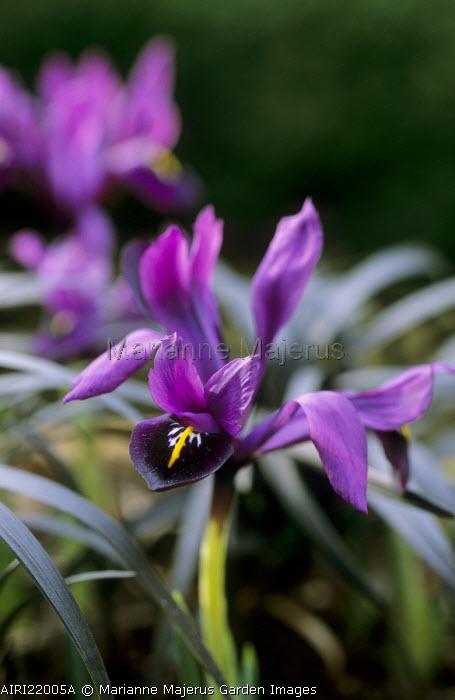 Iris 'J.S. Dijt', Ophiopogon planiscapus 'Nigrescens'