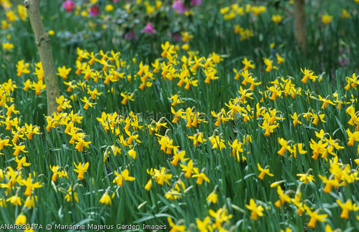 Naturalised Narcissus 'Jetfire'