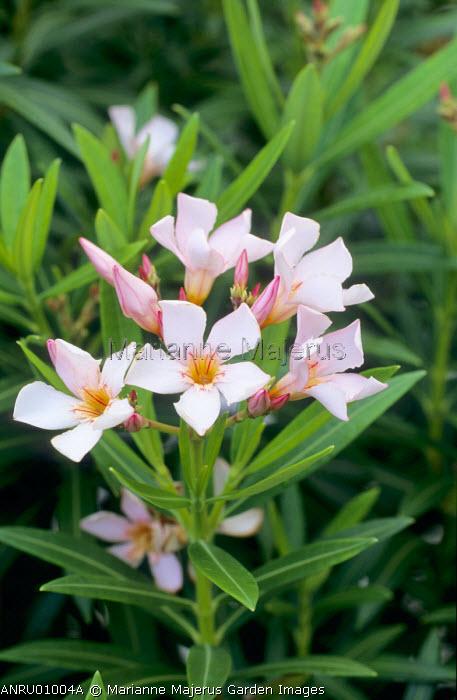 Nerium oleander 'Petite Salmon'