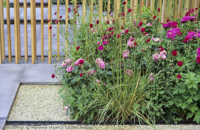 Basalt paving, oak screen, Rosa 'Tuscany Superb' and 'Ferdinand Pichard', Knautia macedonica