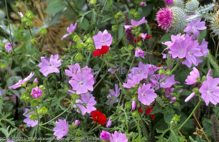 Malva moschata 'Pink Perfection', Geum 'Rubin'