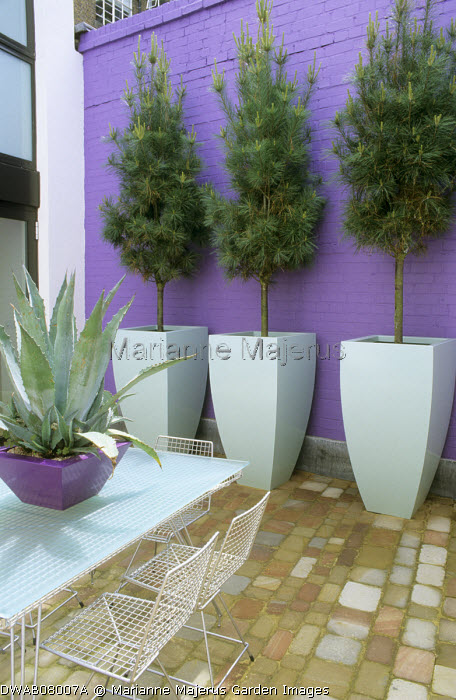 Pine trees in tall pale blue containers, purple painted wall, stone paving, table and chairs, Agave americana in container