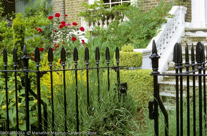 Black iron railings, lavender, roses, topiary