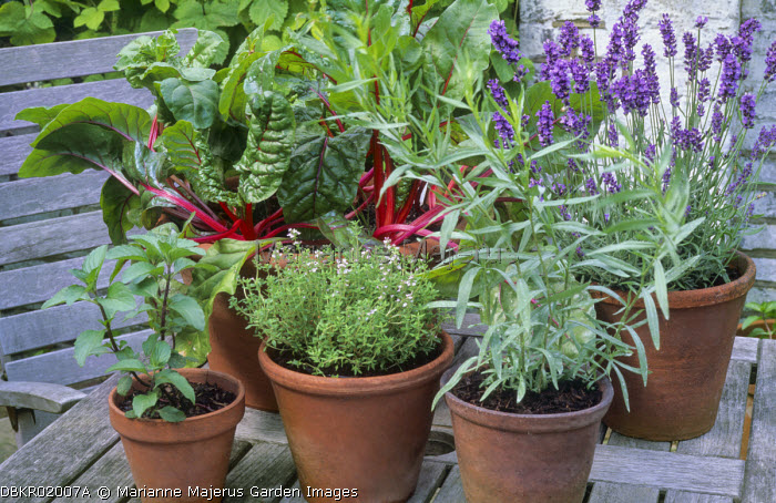 Herbs, lavender and chard in terracotta pots, tarragon, thyme,mint