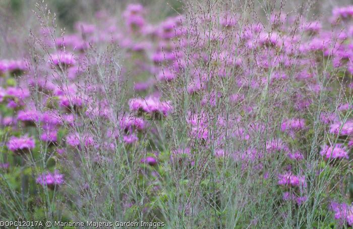 Monarda 'Pawnee', Molinia caerulea subsp. arundinacea 'Transparent'