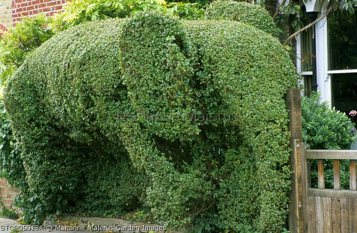 Ligustrum vulgare topiary elephant