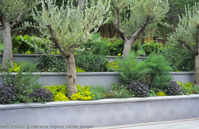 Olive trees underplanted with herbs in concrete stepped raised beds, terracing