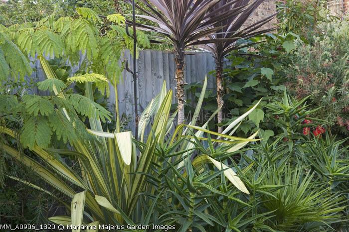 Town garden, Cordyline 'Dark Star', Albizia julibrissin, phormium, Aloe striatula