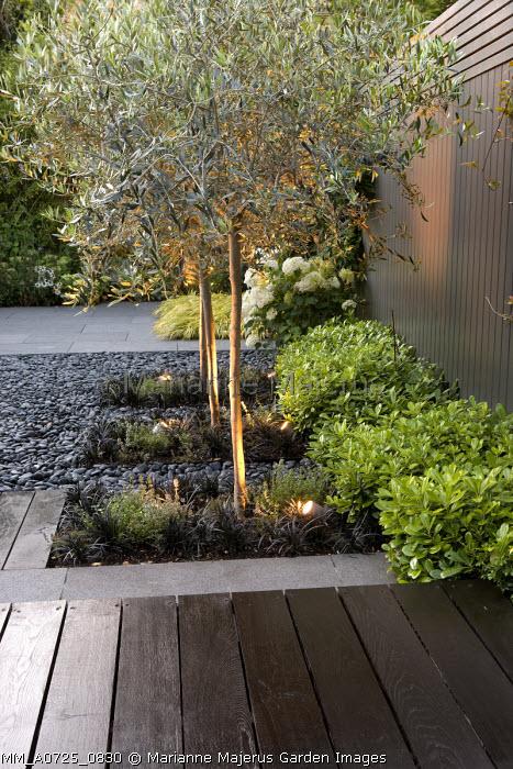 Uplit olive trees underplanted with Ophiopogon planiscapus 'Nigrescens', Pittosporum tobira 'Nanum', grey painted fence