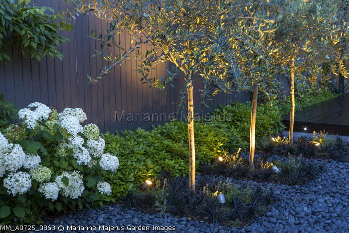Uplit olive trees, Ophiopogon planiscapus 'Nigrescens', Hydrangea arborescens 'Annabelle'