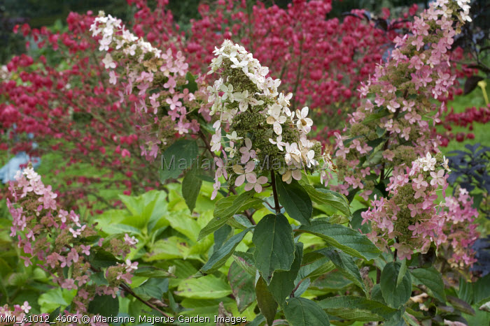 Hydrangea paniculata 'Melody', Euonymus alatus 'Compactus'