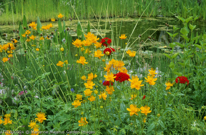 Trollius chinensis and Lychnis chalcedonica by pond